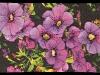 rita-faussone-petunia-x-hybrida-humongo-full-jurorspick-singular-sensations